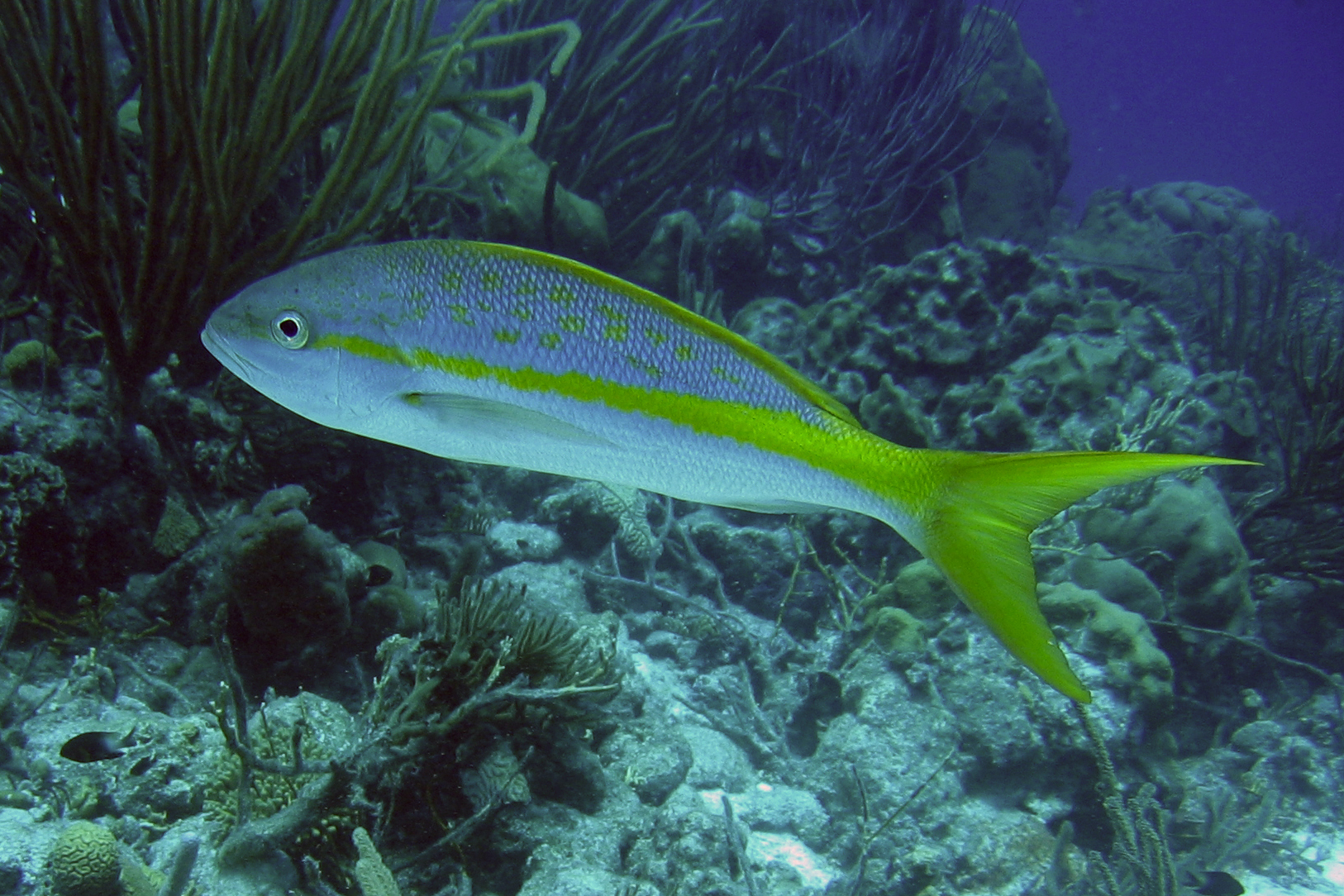 2006-10-06_18_-_Yellowtail_Snapper[1]