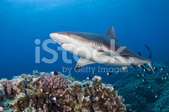 stock-photo-15302297-grey-reef-shark[1]