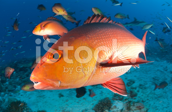 stock-photo-20240311-red-snapper-profile[1]