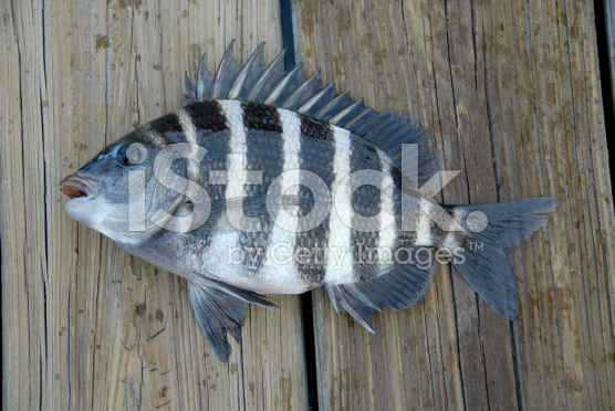 stock-photo-2553150-sheepshead[1]