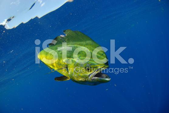 stock-photo-25533399-mahi-swimming-in-ocean[1]