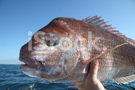 stock-photo-50815570-snapper-from-port-phillip-bay[1]