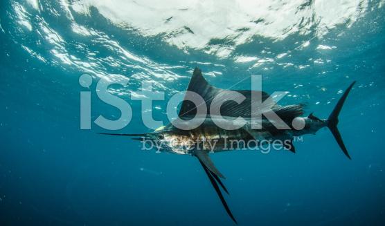 stock-photo-51940006-sailfish-fishing[1]