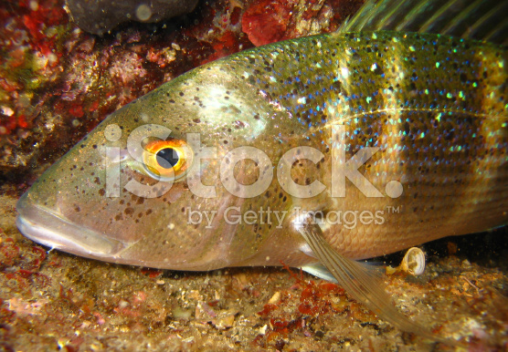 stock-photo-77301335-underwater-shot-of-dentex-dentex-porgy[1]