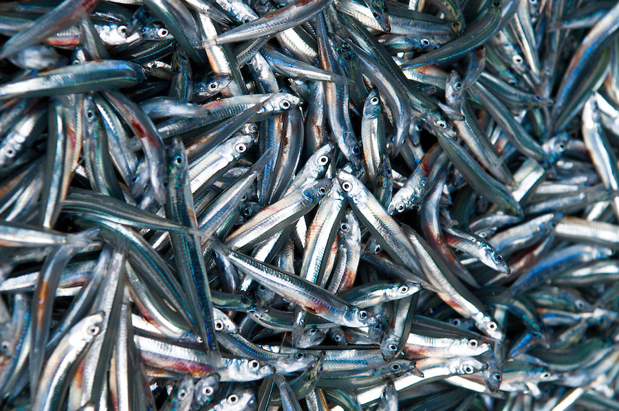 A close up of bait fish caught by a crew in offshore apparel