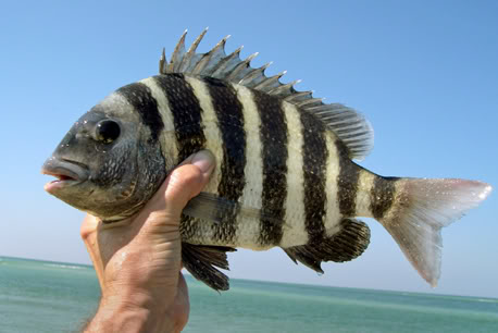 A Sheepshead fish from a rig from our fishing shop