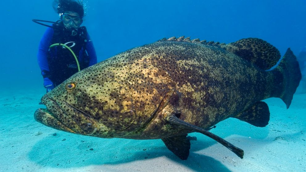 A giant Grouper near a diver who shed his fishing apparel to go in for a closer look