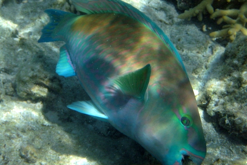 A raindbow colored blue and green fish taken by a photographer in fishing brand clothing