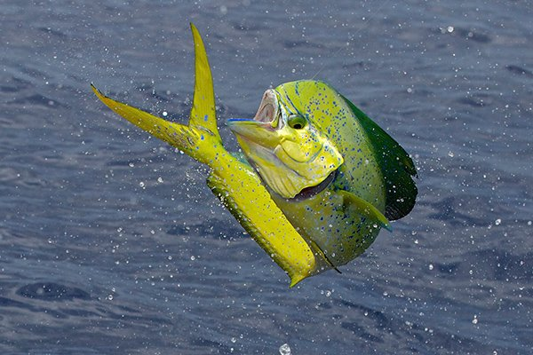 A leaping lime green fish showing off for a crew in saltwater fishing apparel
