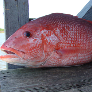 A Red Snapper after being hauled out by tackle from our tackle shop