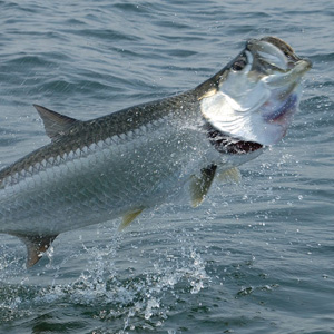 A Tarpon leaping for joy near one of our fishing rigs