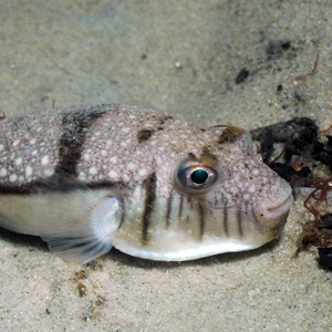 toadfishes