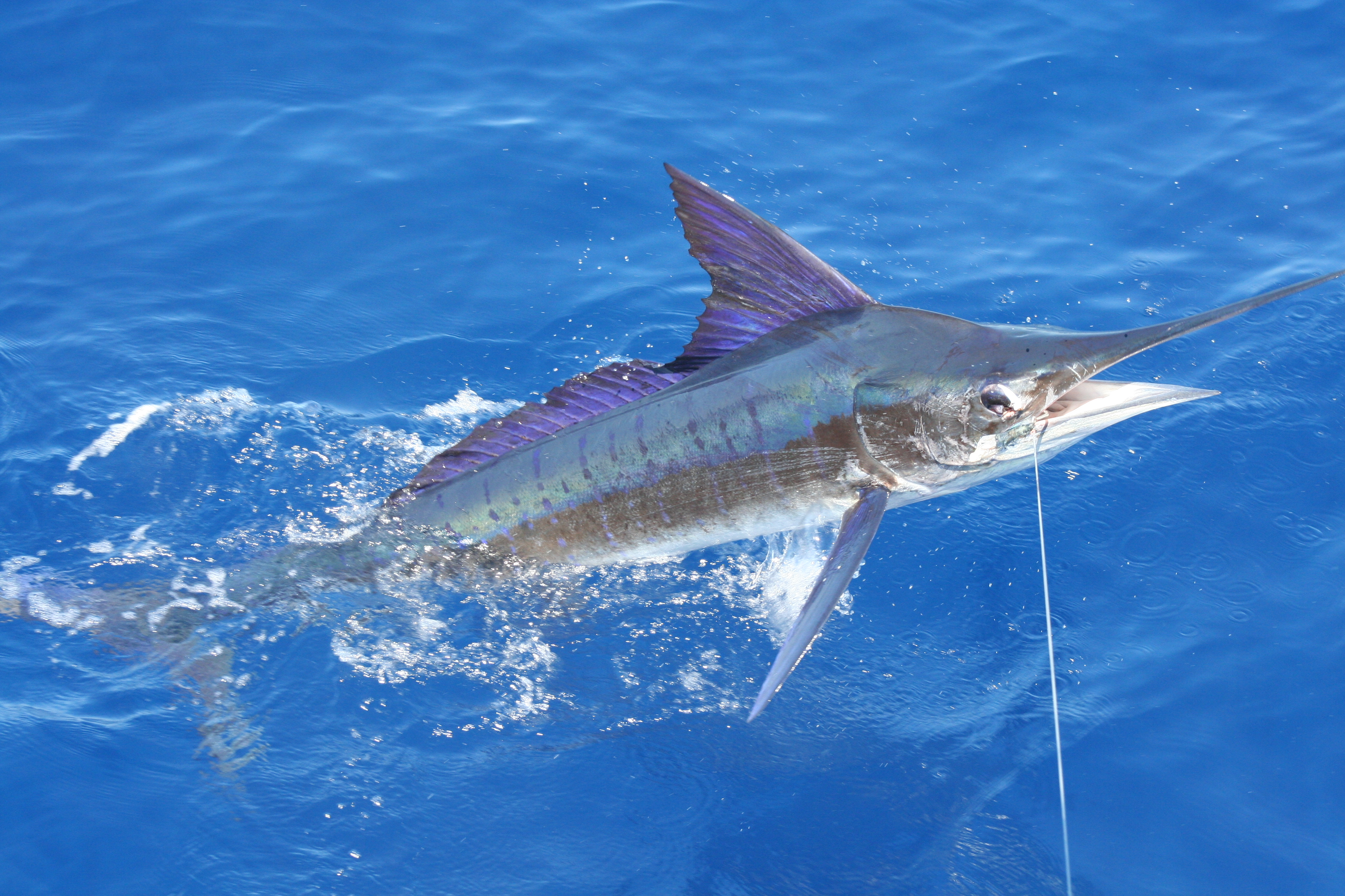 A Marlin caught by two guys in fishing tackle t shirts