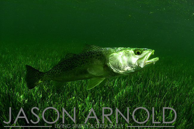A spotted sea trout opening its mouth for a man in a fishing t shirt