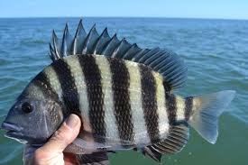 A sheepshead in the hand of a man in Tackle Crafters fishing brands clothing